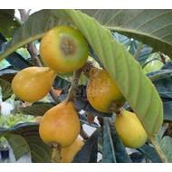Eetbare tuin-edible garden Eriobotrya japonica - Loquat - Japanse wolmispel