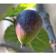 Eetbare tuin-edible garden Ficus carica - Fig tree