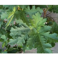 Eetbare tuin / edible garden Ficus carica Ice Cristal - Vijgenboom