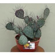 Woestijn Opuntia macrocentra - Paarse vijgcactus