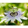 Eetbare tuin-edible garden Passiflora edulis - Passievrucht