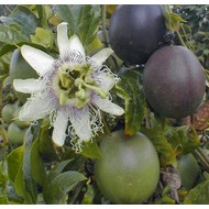 Eetbare Tuin Passiflora edulis - Passievrucht