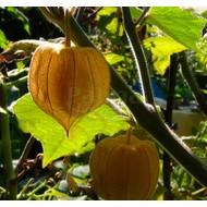 Eetbare Tuin Physalis peruviana - Goudbes - Ananaskers - Kaapse kruisbes
