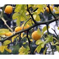 Bomen Poncirus trifoliata - Citrus trifoliata - Wilde citroen