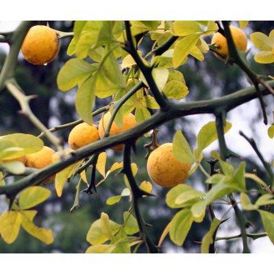 Bomen-trees Poncirus trifoliata - Citrus trifoliata - Wilde citroen