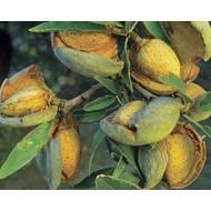 Eetbare tuin / edible garden Prunus dulcis - Amandelboom