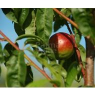 Eetbare tuin-edible garden Prunus persica var. nucipersica Weimberger- Nectarineboom