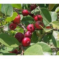 Eetbare Tuin Psidium cattleianum - Aardbeiguave