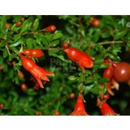 Bloemen Punica granatum Nana - Granaatappel