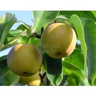 Eetbare tuin / edible garden Pyrus pyrifolia Nashi - Nashi peer