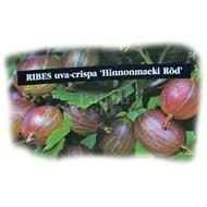 Eetbare tuin-edible garden Ribes uva-crispa Hinnonmacki Röd - Red gooseberry