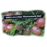 Eetbare Tuin Ribes uva-crispa Hinnonmacki Röd - Rode kruisbes
