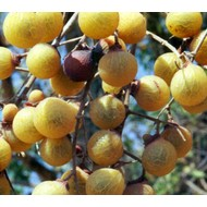 Bomen-trees Sapindus mukorossi - Zeepboom - Wasnootboom - Zeepnoot - Wasnoot