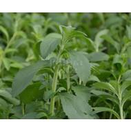 Eetbare Tuin Stevia rebaudiana Bertoni - Stevia plant - Honingkruid - Stepa
