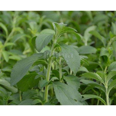 Eetbare tuin-edible garden Stevia rebaudiana Bertoni - Stevia plant - Honingkruid - Stepa