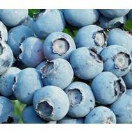 Eetbare Tuin Vaccinium corymbosum Goldtraube - Blauwe bes