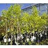 Eetbare tuin / edible garden Ziziphus jujuba - Chinese dadelboom