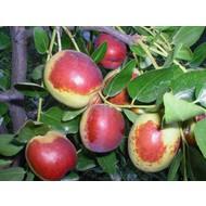 Eetbare tuin-edible garden Ziziphus jujuba - Chinese date tree