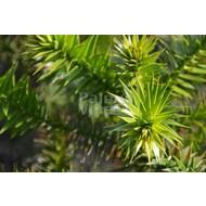 Bomen Araucaria araucana - Slangenden - Apenboom
