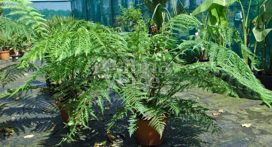 dicksonia antarctica tasmanian tree fern palma verde exoten v o f. Black Bedroom Furniture Sets. Home Design Ideas