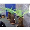 Blad-leaf Dicksonia antarctica - Tasmaanse boomvaren