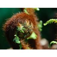 Blad Dicksonia antarctica - Tasmaanse boomvaren