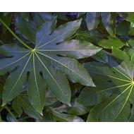Blad Fatsia japonica - Japanse vingerplant