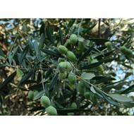Bomen / trees Olea europaea - Olijfboom