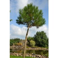 Bomen / trees Pinus pinea - Parasolden - Pijnboom