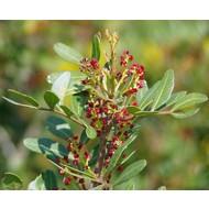 Bomen Pistacia lentiscus - Mastiekboom