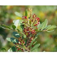 Bomen-trees Pistacia lentiscus