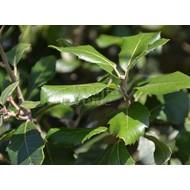 Bomen / trees Quercus ilex - Steeneik