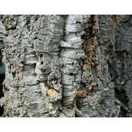 Bomen Quercus suber - Kurkeik