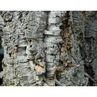 Bomen / trees Quercus suber - Kurkeik