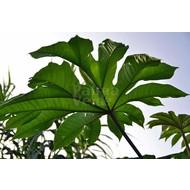 Blad Tetrapanax papyrifera Steroidal Giant - Rijstpapierplant - Rijstpapierboom