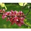 Bloemen-flowers Cercis siliquastrum - Judasboom