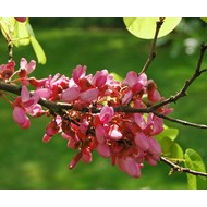Bloemen Cercis siliquastrum - Judasboom