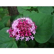 Bloemen Clerodendrum bungei - Pindakaasplant