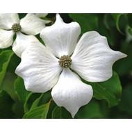 Bloemen Cornus kousa Weisse Fontaine - Kornoelje