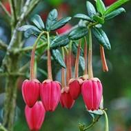 Bloemen Crinodendron hookerianum - Chileense lantaarn