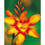 Bloemen / flowers Crocosmia Emily McKenzie