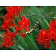 Bloemen-flowers Crocosmia Lucifer - Monbretia