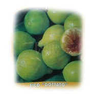 Eetbare tuin-edible garden Ficus carica Dottato - Fig tree