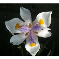 Bloemen Dietes grandiflora - Afrikaanse iris