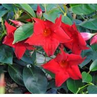 Bloemen Dipladenia