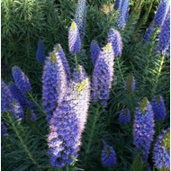 Bloemen-flowers Echium fastuosum - Pride of Madeira