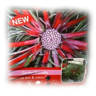 Bloemen Fascicularia bicolor - Zonbromelia