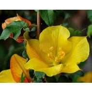 Bloemen Fremontodendron californicum - Flanelstruik