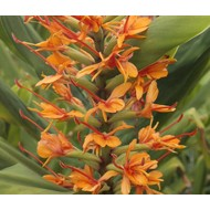 Bloemen-flowers Hedychium coccineum Tara - Ginger