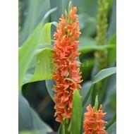 Bloemen Hedychium coccineum Assam Orange - Gember